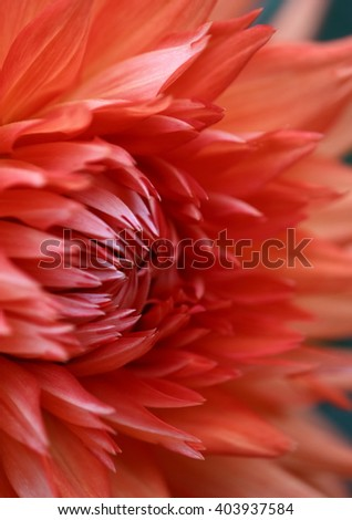 Closeup of a Beautiful Orange Colored Dahlia Flower, soft focus - stock photo