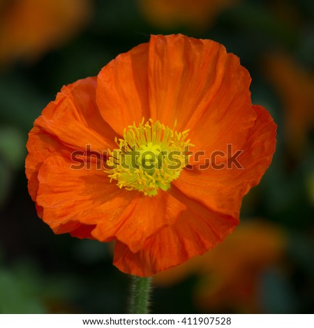 Closeup of a beautiful orange poppy flower - stock photo