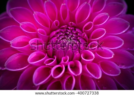 Closeup of a beautiful pink dahlia flower on dark background - stock photo