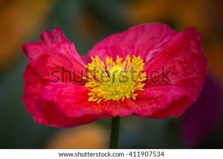 Closeup of a beautiful pink poppy flower - stock photo