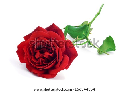 closeup of a beautiful red rose on a white background - stock photo