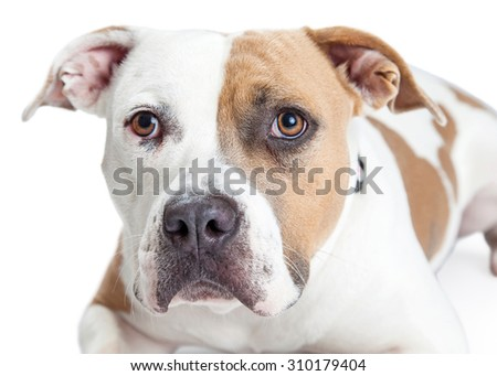 Closeup of a beautiful tan and white color American Staffordshire Terrier Pit Bull dog - stock photo