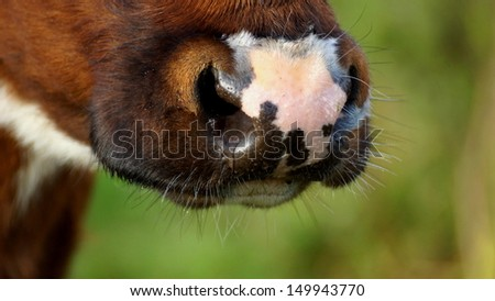 closeup of a beautiful wet snout of a brown cow in the morning - stock photo