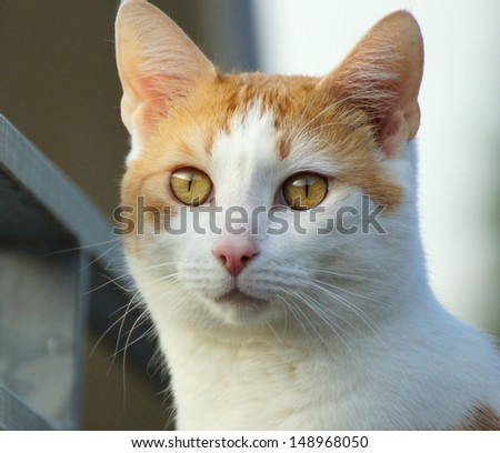 closeup of a beautiful yellow and white sweet sly cat - stock photo