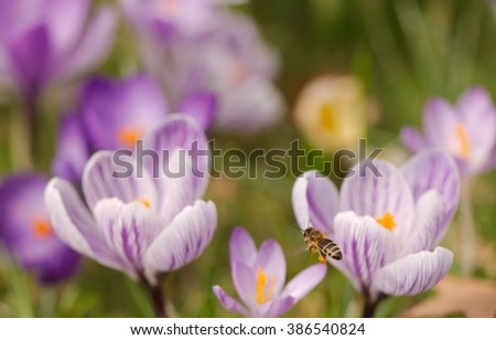 Closeup of a bee flying to purple crocuses and holding nectar - stock photo