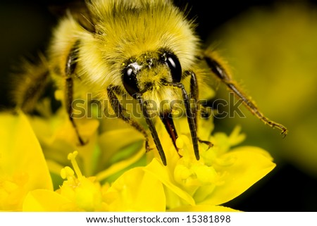 Closeup of a bee gathering nectar in a garden in the Pacific Northwest