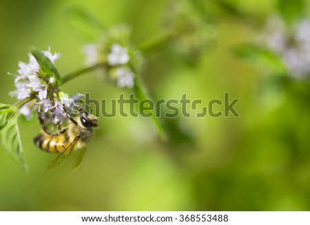 closeup of a bee on a purple mint flower - stock photo