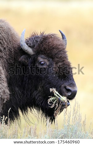 Closeup of a Bison in Yellowstone National Park - stock photo