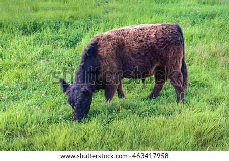 Closeup of a black brown Galloway bull quietly grazing on the slope of a Dutch dike with fresh green grass and clover.