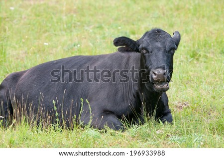 closeup of a black cow lying on the pasture and chewing the cud