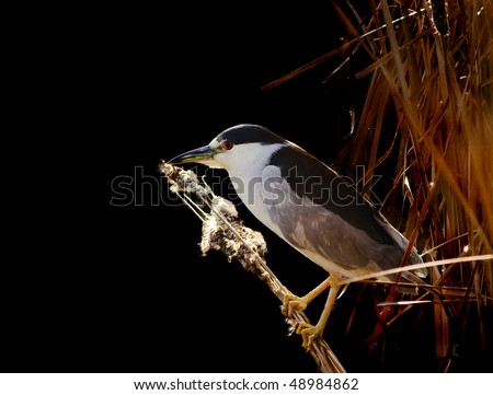 Closeup of a Black-Crowned Night-Heron (Nyticorax nyticorax)