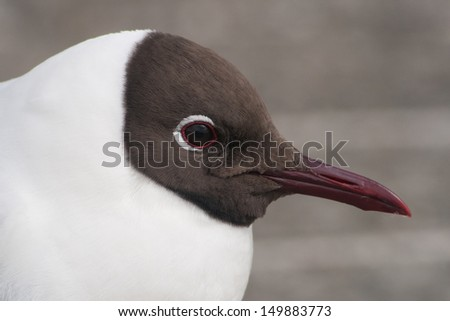 Closeup of a Black-headed gull