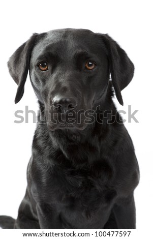 Closeup of a black Labrador i studio