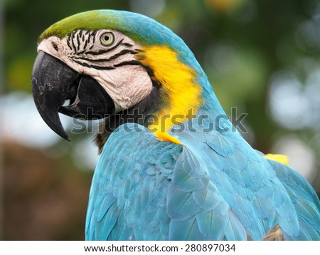 Closeup of a Blue and Yellow Macaw in Profile