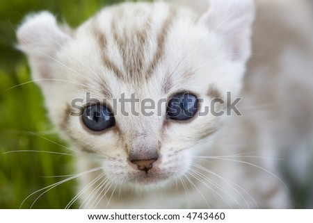 Closeup of a blue eyed kitten with curled ears in the grass