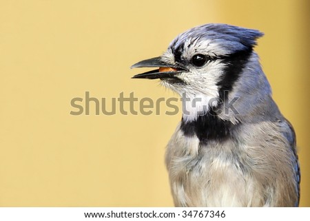 Closeup of a Blue Jay against a blurred background.