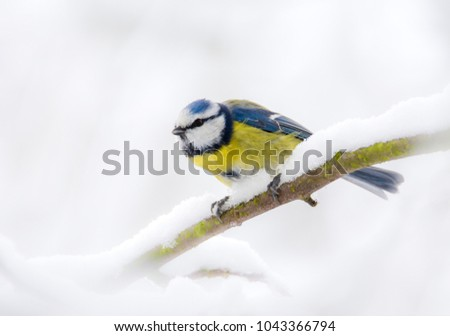 Closeup of a Blue tit bird sitting on the branch of a snow covered tree