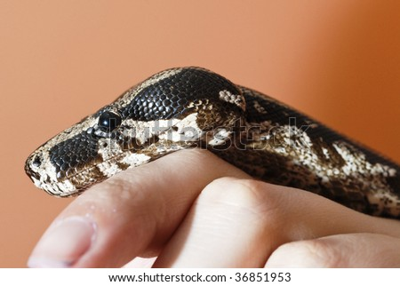 closeup of a Boa constrictor in a hand - stock photo