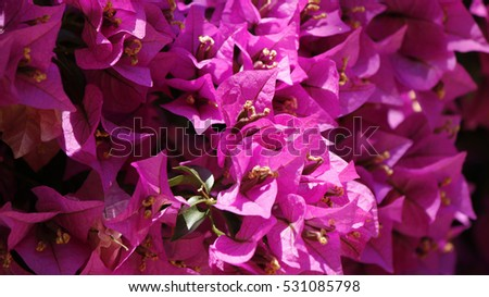Closeup of a bougainvillea plant flowers