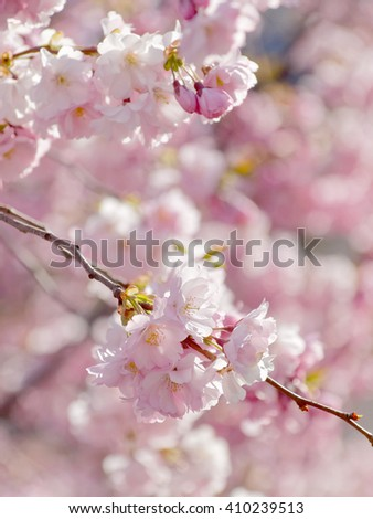 Closeup of a branch of pink cherry bloom in morning light (latin: Cerasus). Short depth of focus