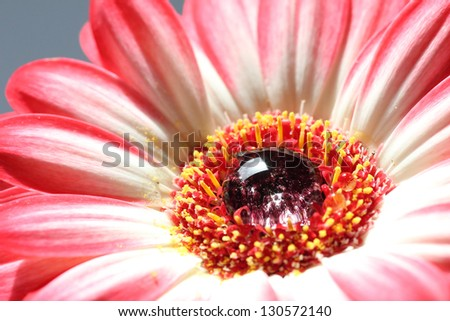 closeup of a bright beautiful gerbera daisy with a big one dew drop in the middle - stock photo
