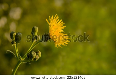 Closeup of a bright yellow blooming Corn Sow Thistle - stock photo