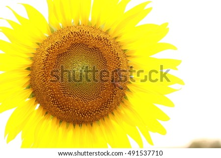 Closeup of a bright yellow sunflower with bee