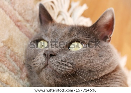 Closeup of a british short hair cat. Whole background. - stock photo