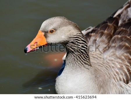 Closeup of a brown Graylag Goose, (Anser anser), swimming. - stock photo
