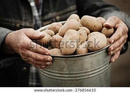 Closeup of a bucket of potatoes in the hands of the farmer - stock photo