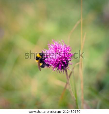 Closeup of a bumblebee feeding on a thistle - stock photo
