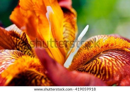 Closeup of a burgundy red bearded iris flower in bloom, on natural green background; shallow depth of field - stock photo