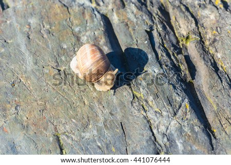 Closeup of a Burgundy snail on a stone, also known as Roman snail. - stock photo