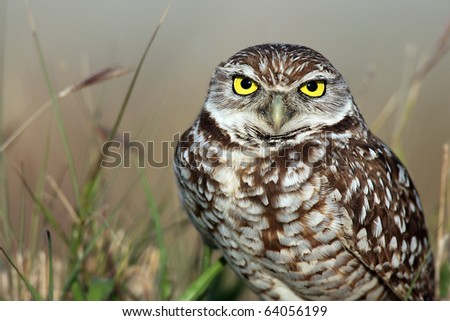 Closeup of a Burrowing Owl in Cape Coral, Florida. - stock photo
