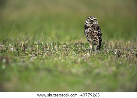 Closeup of a Burrowing Owl in Cape Coral, Florida.  These tiny Owls are a species of special concern in the state of Florida. - stock photo