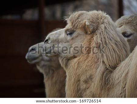 Closeup of a Camels Head and Shoulders