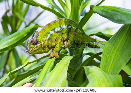Closeup of a chameleon among the leaves of a tree - stock photo