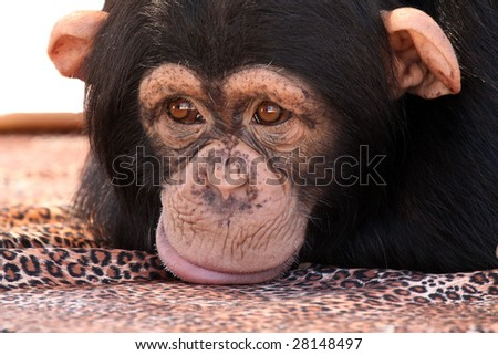 Closeup of a Chimpanzee sulking and resting his chin on a blanket.