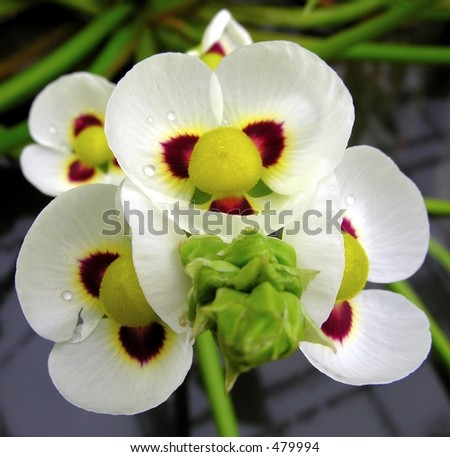 Closeup of a colorful flower (Sagittaria) with raindrops... - stock photo