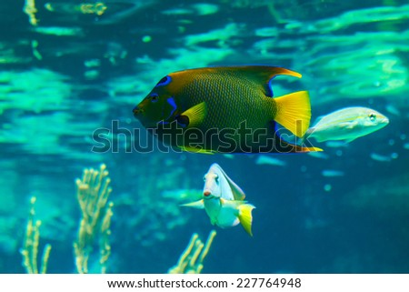 Closeup of a colorful Queen Angelfish in Caribbean sea - stock photo
