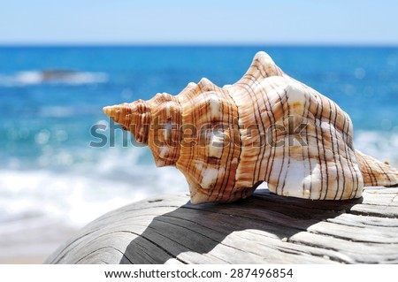 closeup of a conch on an old washed-out tree trunk in the beach, with a bright blue sea in the background - stock photo