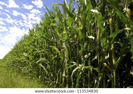 Closeup of a cornfield with ripe Corn - stock photo