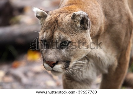 Closeup of a Cougar on the prowl. - stock photo