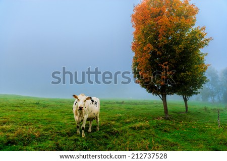 Closeup of a cow looking at the camera, on a foggy morning in Stowe, Vermont, USA - stock photo