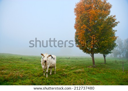 Closeup of a cow looking at the camera, Stowe, Vermont, USA - stock photo
