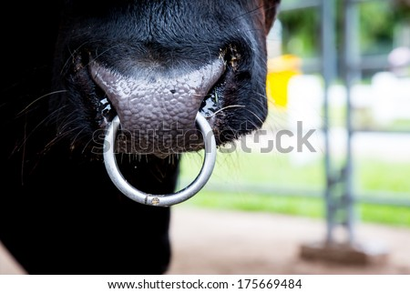 Closeup of a cow nose with ring. - stock photo