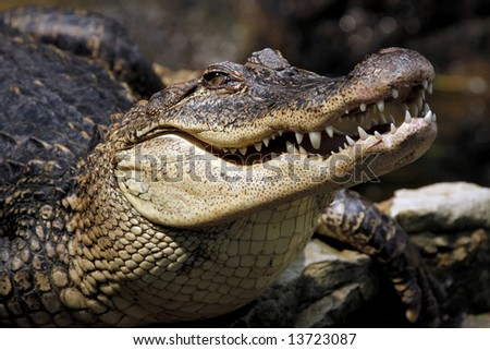 Closeup of a crocodile