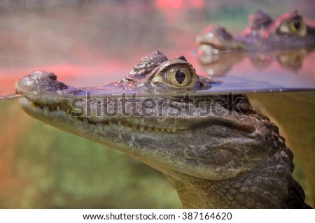 Closeup of a crocodile with its eyes above the water surface (with focus on the eyes) - stock photo