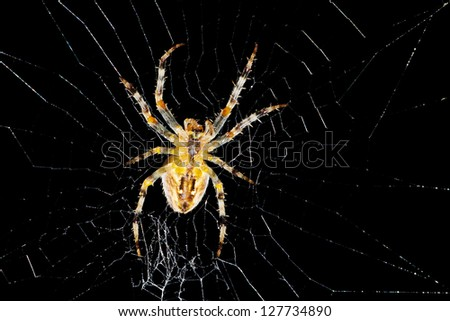 Closeup of a cross spider in a web over a black background - stock photo