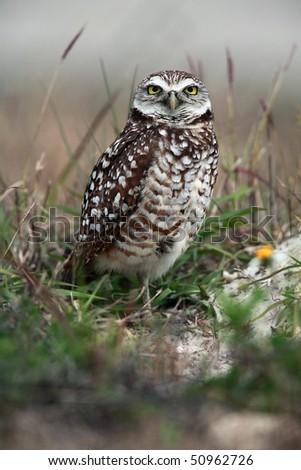 Closeup of a curious Burrowing Owl. - stock photo